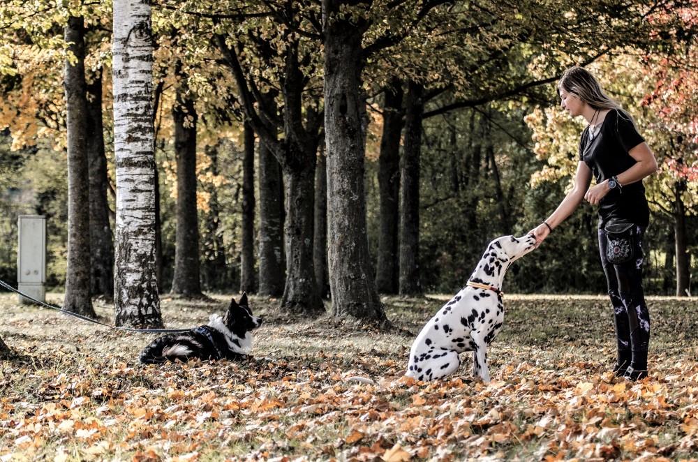 Border Collie und Dalmatiner im Herbstlaub