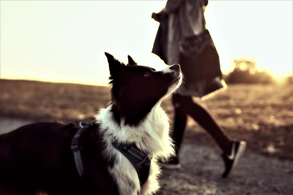 Border Collie und junge Frau in herbstlicher Abendsonne