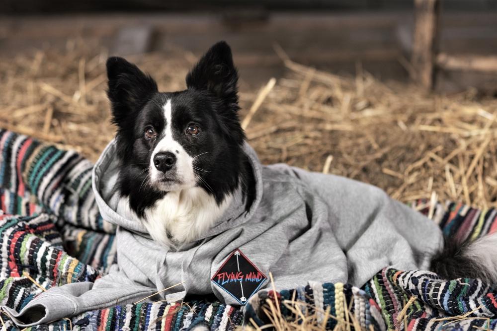 Border Collie in chilligem Pullover am Heuboden